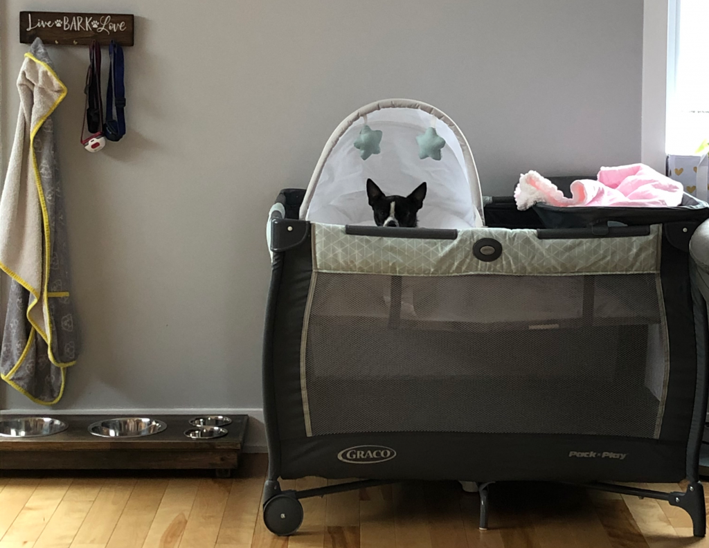 Chihuahua in baby playpen